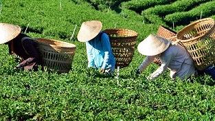 春风暖暖催动新茶上市  西湖龙井将在3月20日左右开采