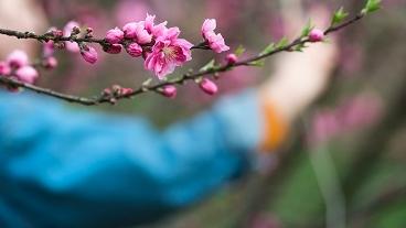 共青森林公园近万平米桃花陆续进入观赏期