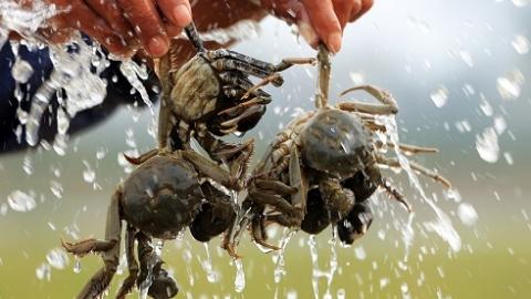 """上海蟹签出""""天价""""转让费!国内水产界的第一大保单也是它"""