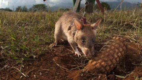 训练9个月还要结业考 看非洲巨鼠如何变身扫雷鼠