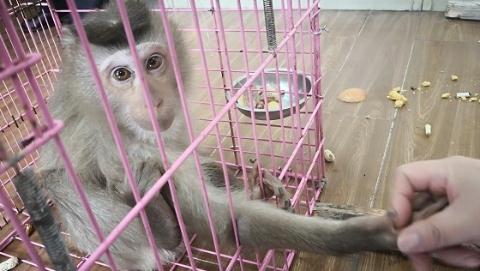 """工地惊现""""美猴王""""被安全送往上海动物园 原来它是国家二级保护动物"""