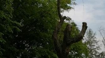 新闻追踪   47棵柳树枯死 漓江山水小区业委会和物业被开具整改单
