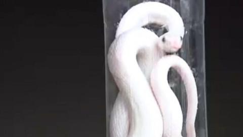 """杨浦居民家中闯进""""不速之客"""" 竟是一米多长的白蛇!"""