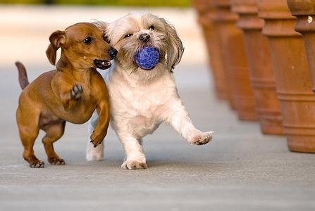 在美国寄养狗狗
