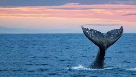 米克诺斯死亡鲸鱼胃部发现近百塑料袋