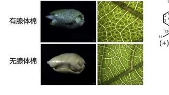 """抗虫不误好营养!上海科学家解析棉酚生物合成途径,破译更多棉花基因""""密码"""""""