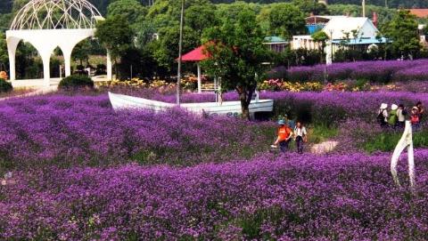 崇明薰衣草节开幕 打造芳香产业链助力花博会