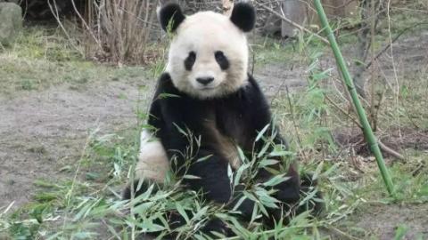 """旅居维也纳13年的大熊猫终于""""回家了"""""""