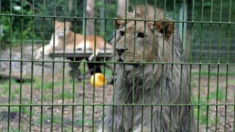 """欧洲暴雨洪涝,德动物园老虎狮子猎豹趁机""""越狱""""!"""