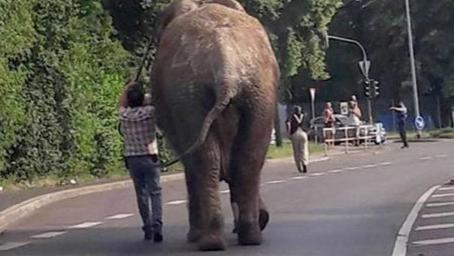 大象逃出马戏团散步城市街头 德国野生动物圈养禁令沦为一纸空文