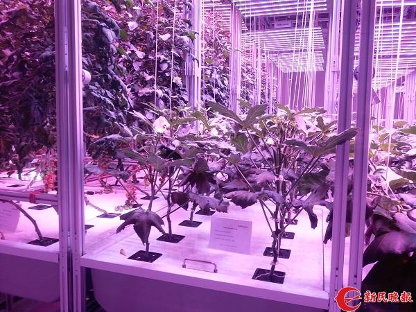 图说:植物工厂不需要土和阳光,在密闭空间也能让植物生长 新民晚报记者 郜阳摄.jpg