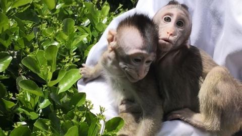 历经八十一难,苦练七十二变,克隆猴团队迸发中国创造力!