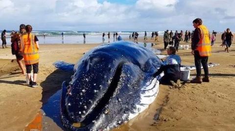 鲸鱼母子搁浅新西兰海滩,众人接力救助无奈回天乏力