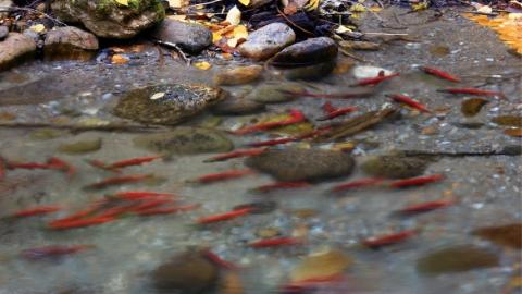 水温太高,大批洄游红大马哈鱼恐产卵前死亡