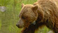 如何与动物和谐相处?加拿大国家公园聘用野生动物监护人