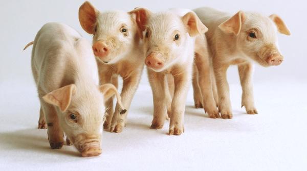 上海猪肉目前安全可控 沪上2600家养猪场无异常