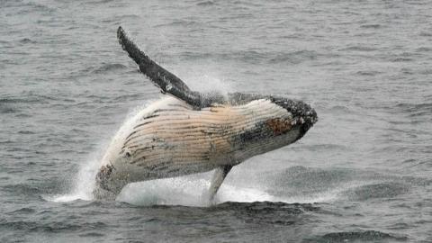 """捕鲸要求遭否决  日本又威胁""""退群"""""""