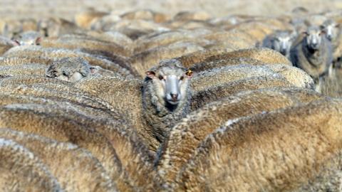 澳大利亚东部遭遇罕见旱灾 羊毛产量显著减少价格飙升
