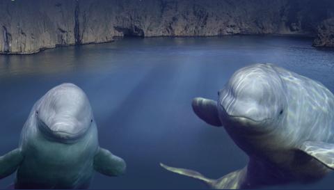 再见,小白鲸!上海长风海洋世界白鲸姐妹将启程回到大海怀抱