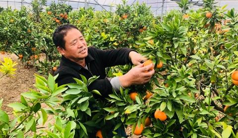 郊野大地 | 树上摘下即可尝鲜,奉贤天草桔橙获丰产