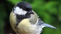 大山雀成捷克冬天最常见鸟类