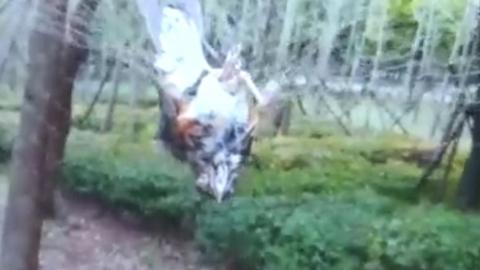 请放过飞翔的精灵!两只白腹鸫被困捕鸟网  护鸟志愿者救下一只