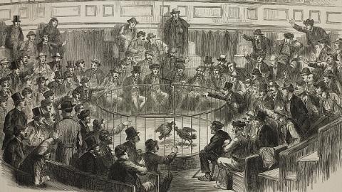 违法参加斗鸡比赛 西班牙182人被捕