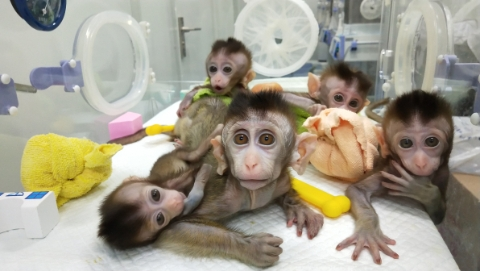 """""""中中""""""""华华""""有了小伙伴!世界首批疾病克隆猴诞生在中国"""