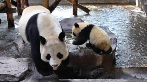 熊猫、猩猩、大食蚁兽都生娃啦!春节去野生动物园看奶萌动物宝宝