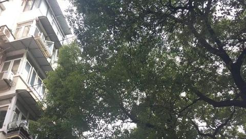 """""""大树扰民""""成新城市病  想要治理不容易"""