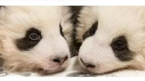 """双胞胎大熊猫宝宝终于有名字啦!柏林动物园为大熊猫举行""""百日宴"""""""