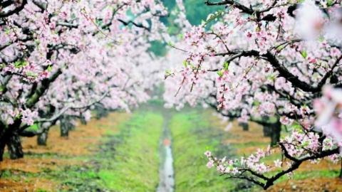 姚庄:你看,你看,在那桃花盛开的地方