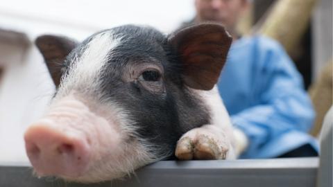 """金猪送宝   实验用小型猪想在上海有个""""家"""" 一个高科技的家"""