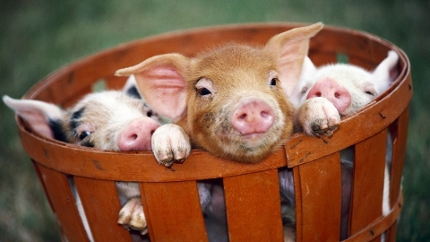 """金猪送宝 克隆猪技术""""把根留住"""" 助力本地猪保种繁育"""