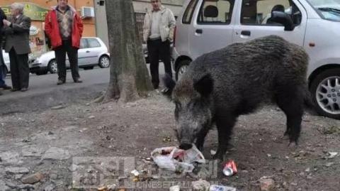 """觅食城市,野猪""""攻陷""""罗马"""