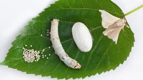 """蚕宝宝为何只爱吃桑叶?上海科学家的研究或可改掉家蚕""""挑食""""坏习惯"""