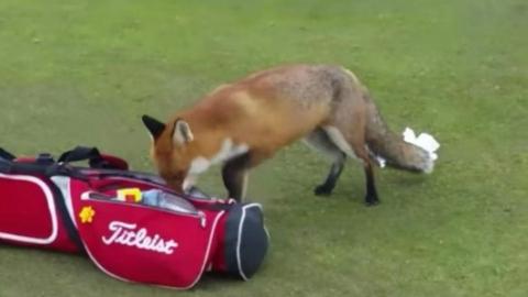 伦敦狐狸撩完就跑,这招怕不是跟峨眉山猴子学的