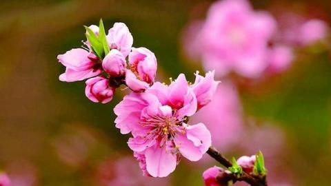 夜上海·流连|申城桃花始盛开 请收下这份赏花攻略