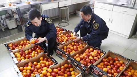 尝鲜了!全国首批意大利鲜橙登陆申城