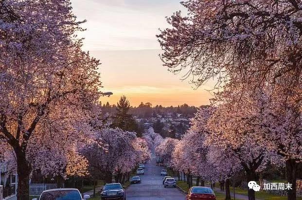 温哥华高温破72年纪录 全城樱花一夜盛开