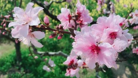 九条赏花踏青线路,两条赏花接驳车 上海桃花节出游攻略请收好