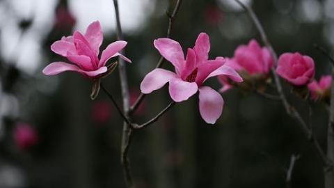 最红最纯的玉兰新品种首度亮相上海植物园