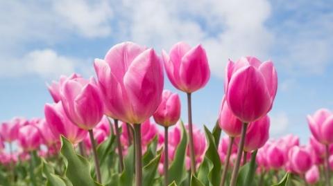 天下游 | 荷兰库肯霍夫开园,惊艳全球的郁金香花季来啦