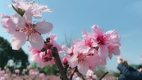 一簇簇早花今起芬芳迎客 上海桃花节今天开幕,期间海上桃花源闭园