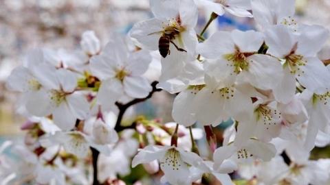 在上海,为什么同济大学的樱花最有名?