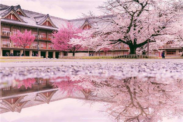 在日本看最后的平成樱花