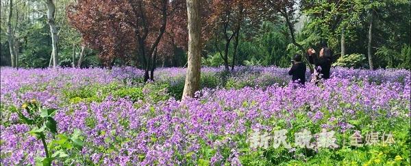 本周三至5月5日 蓝色梦幻花海首现滨江杜鹃花展