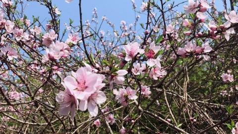 上海桃花节接待游客300余万人次