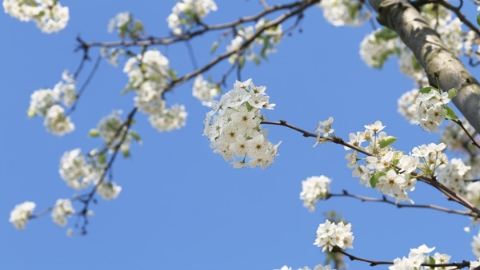 梨花与梧桐