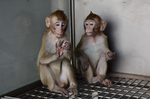 """03-体细胞克隆猴""""中中""""和""""华华""""一周岁照.jpg"""